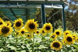 Sunflowers at Waiheke Island, NZ