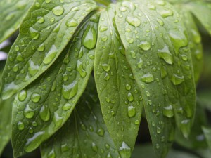 Leaves wet with rain