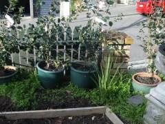 Camellias in pots