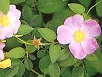 Shenksferry flowers