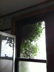 Ivy at bathroom window