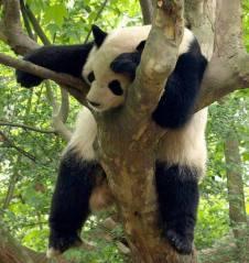 Tired panda