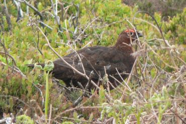 Red_Grouse_(May_2008)